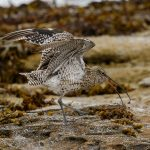 Curlew, Burghead 19 Aug 2016 (Tony Backx) 2 P