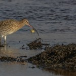 Curlew, Lossie estuary 15 Feb 2015 (David Main)