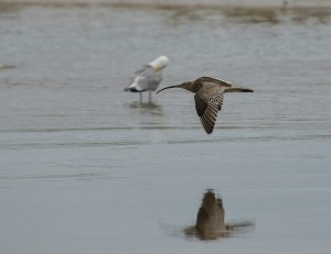 Curlew, Lossie estuary 21 July 2014 (David Main)