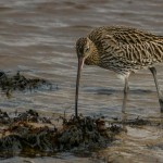 Curlew Lossie estuary 26 Jan 2014 David Main