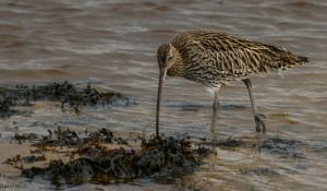 Curlew, Lossie estuary 26 Jan 2014 (David Main)