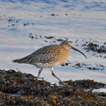 Curlew, Lossie estuary 30 Jan 2015 (Gordon Biggs)