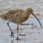Curlew Portgordon 8 Oct 2017 Nick Mellor