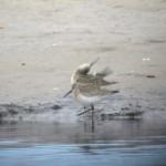 Curlew Sandpiper Lossie estuary 31 Aug 2014 Martin Cook