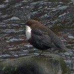 Dipper Bridge of Bantrach 13 Mar 2016 Jack Harrison