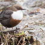 Dipper, Chapelton 25 Feb 2015 (Mike Crutch)