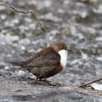 Dipper Forres 13 Feb 2018 Richard Somers Cocks 1