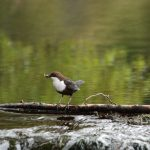Dipper Forres 6 May 2018 Allan Lawrence
