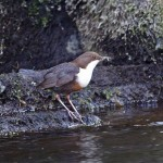 Dipper, Glenlivet 18 Apr 2015 (Tony Backx)