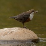 Dipper, River Lossie 16 May 2015 (David Main)