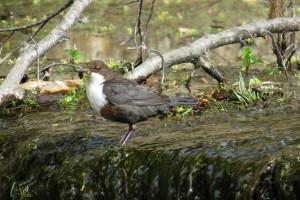 Dipper, Sanquhar Loch 24 Apr 2014 (Alison Ritchie)