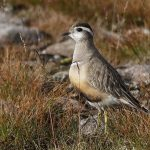 Dotterel Cairngorms 13 Aug 2017 Robert Ince P