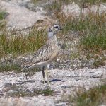 Dotterel Cairngorms 18 Jul 2017 Robert Ince 2 P