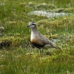Dotterel Cairngorms 24 June 2014 Martin Cook 2 P