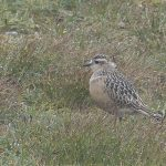 Dotterel Cairngorms 28 Jul 2017 Robert Ince 1 P