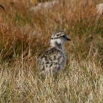 Dotterel chick Cairngorms 13 Aug 2017 Robert Ince P