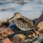 Dunlin Burghead 21 Sep 2016 Tony Backx P