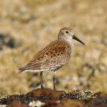 Dunlin Covesea 14 May 2017 Margaret Sharpe P