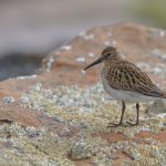 Dunlin Covesea 17 Aug 2017 David Main P
