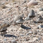 Dunlin Findhorn 10 June 2013 Gordon McMullins