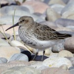 Dunlin Findhorn 15 Apr 2013 Richard Somers Cocks 1