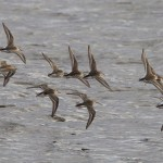 Dunlin Findhorn 17 Sept 2013 Richard Somers Cocks