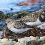 Dunlin, Findhorn 6 Sep 2016 (Richard Somers Cocks) P