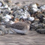 Dunlin, Findhorn Bay 13 Jan 2015 (Richard Somers Cocks)
