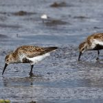 Dunlin Findhorn Bay 16 May 2017 Richard Somers Cocks