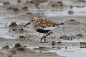 Dunlin, Findhorn Bay 27 May 2014 (Richard Somers Cocks)