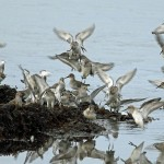Dunlin Lossie east beach 21 Nov 2012 Gordon Biggs 1