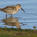 Dunlin, Lossie estuary 1 Oct 2014 (David Main)