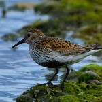 Dunlin Lossie estuary 16 May 2013 David Main