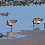 Dunlin Lossie estuary 30 Apr 2013 Tony Backx