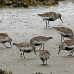 Dunlin Lossie estuary 4 May 2013 Gordon Biggs 2