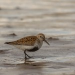 Dunlin, Lossie estuary 8 May 2015 (David Main)
