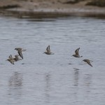 Dunlin and Ringed Plover Lossie estuary 3 Sept 2014 David Main