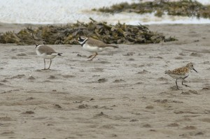 Dunlin and Ringed Plover, Lossie estuary 4 May 2014 (Seamus McArdle)