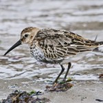 Dunlin in transition Portgordon 21 Sept 2013 Tony Backx
