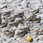 Dunlin roosting at Findhorn 2 May 2014 Richard Somers Cocks