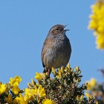 Dunnock Findhorn 26 Mar 2014 Tony Backx