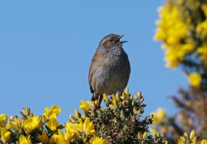 Dunnock, Findhorn 26 Mar 2014 (Tony Backx)