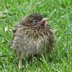 Dunnock, Forres 3 May 2015 (Alison Ritchie)
