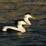 Eider showing characteristics of borealis David Devonport 6