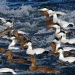 Eiders Rowing Burghead 1 Nov 2012 Tony Backx Paint