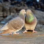 Feral Pigeon, Lossiemouth harbour 15 Feb 2015 (Bob Proctor)