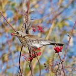 Fieldfare Alves Nov 2013 Tony Backx