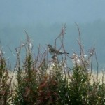 Fieldfare Clochan 28 Aug 2014 Martin Cook 2