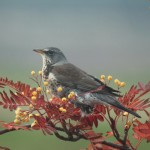 Fieldfare, Clochan 31 Oct 2015 (Martin Cook)