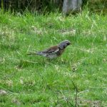Fieldfare Dunearn 14 Apr 2017 Alison Ritchie